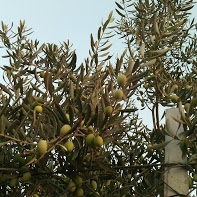 galilee olives