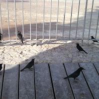 tame starlings